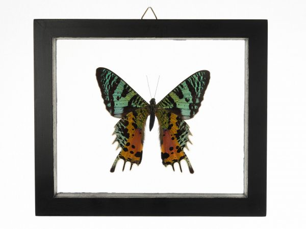 - The Butterfly Connection - 1 Count Real Glass Framed Butterfly 7x6