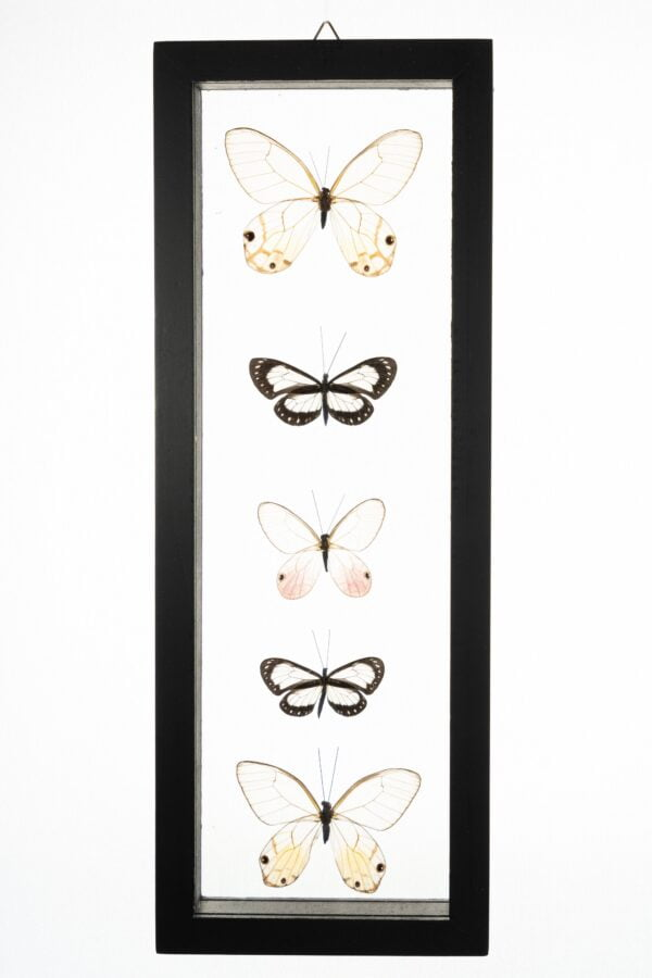 - The Butterfly Connection - 5 Count Real Glass Framed Butterfly 13 x 5 Glass wing