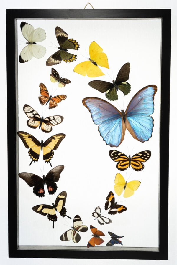 - The Butterfly Connection - 18 Count Real Glass Framed Butterfly 13 x 20