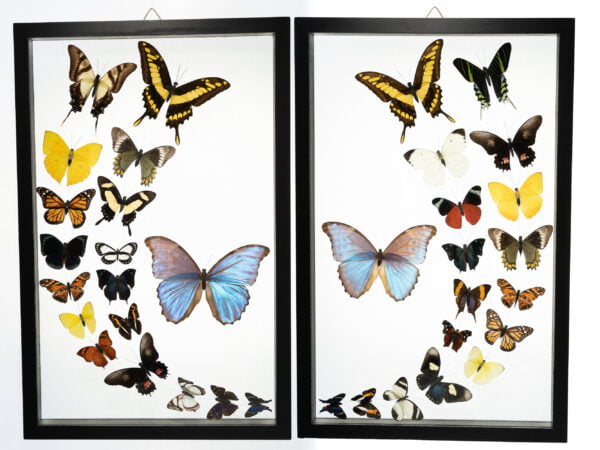 - The Butterfly Connection - 36 Count Real Glass Framed Butterfly set 19 x 24