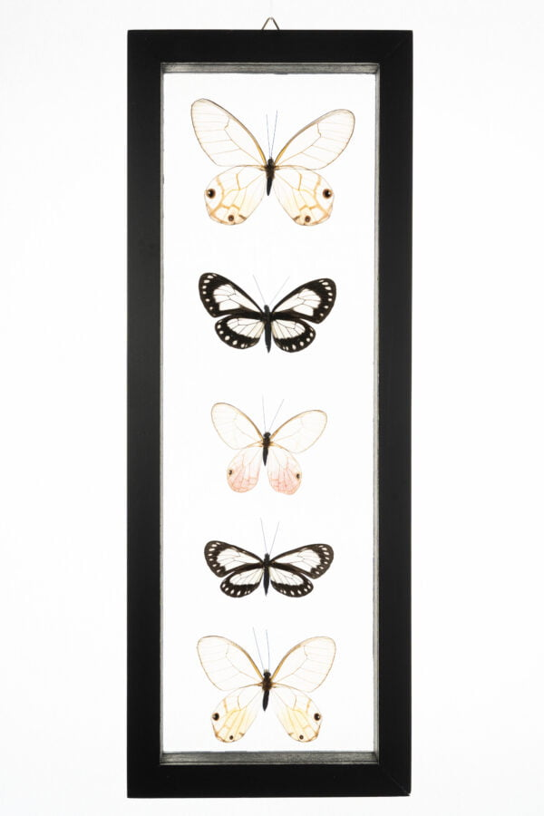 - The Butterfly Connection - 5 Count Real Glass Framed Butterfly 13 x 5