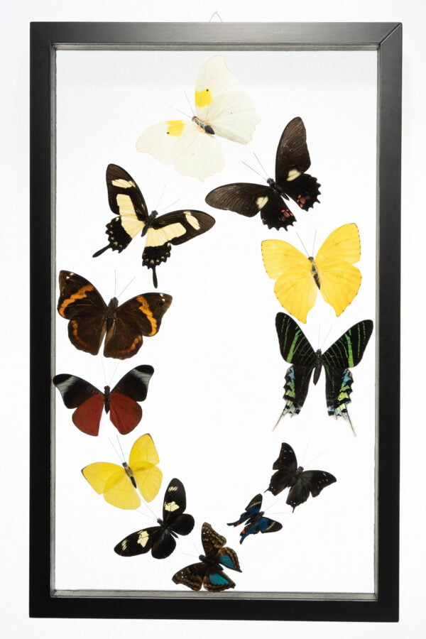 - The Butterfly Connection - 12 Count Real Glass Framed Butterfly 16 x 10