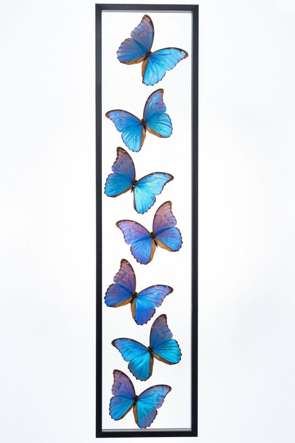 - The Butterfly Connection - 7 Count Morpho Limited Edition Real Glass Framed Butterflies 8x36