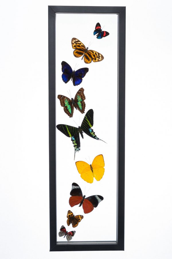 - The Butterfly Connection - 9 Count Real Glass Framed Butterfly 18 x 5 (Copy)