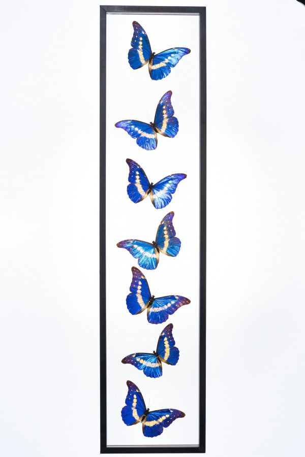 - The Butterfly Connection - 7 Count Helena Morpho Limited Edition Real Glass Framed Butterflies 8x36