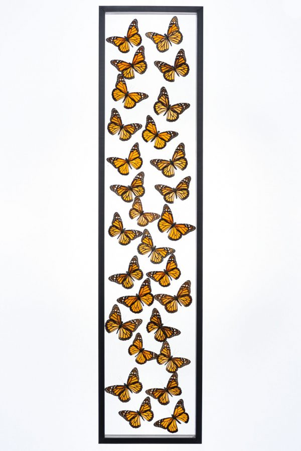 - The Butterfly Connection - 28 Count Monarch Real Glass Framed Butterfly 8x36