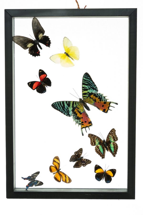 - The Butterfly Connection - 9 Count Real Framed Butterflies (13x9) 1 Riphuso + 8 mixed butterflies