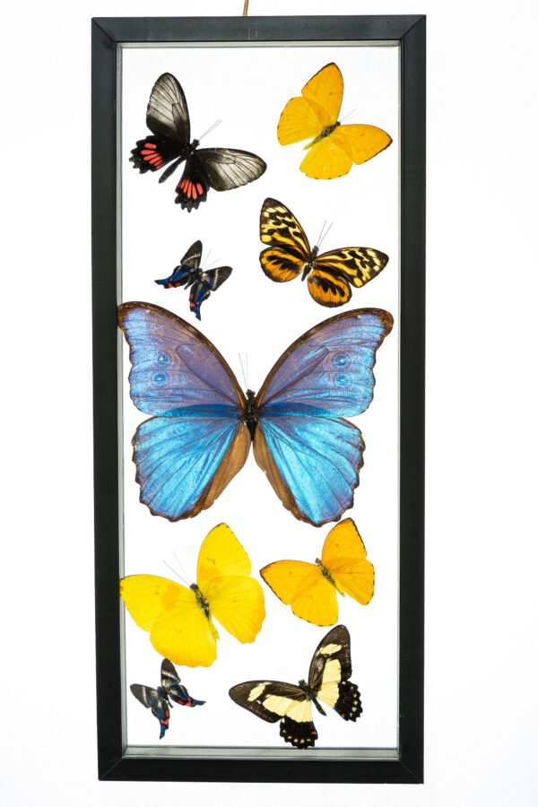 - The Butterfly Connection - 9 Count Real Framed Butterflies (16x7) 1 Morpho 8 mixed butterflies
