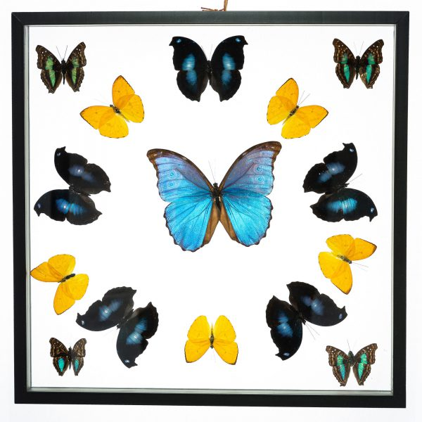 - The Butterfly Connection - 15 Count Real Framed Butterflies (16x16) 1 Morpho 14 mixed butterflies