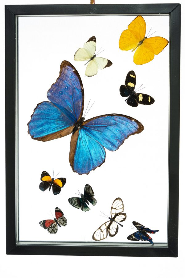 - The Butterfly Connection - 9 Count Real Framed Butterflies (13x9) 1 Morpho 1 Fine Small 7 mixed butterflies