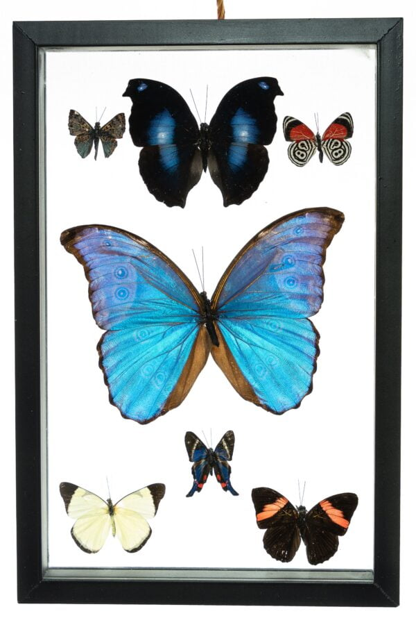 - The Butterfly Connection - 7 Count Real Framed Butterflies (12x8) 1 Morpho 6 mixed butterflies