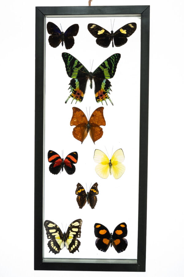- The Butterfly Connection - 9 Count Real Framed Butterflies (16x7) 1 Ripheus + 8 mixed butterflies