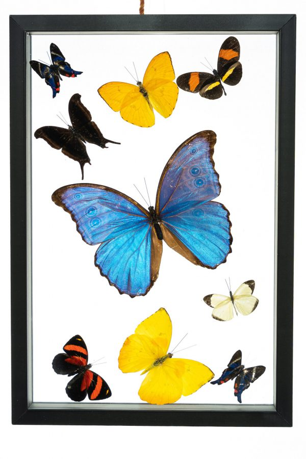 - The Butterfly Connection - 9 Count Real Framed Butterflies (16x7) 1 Morpho + 8 mixed butterflies