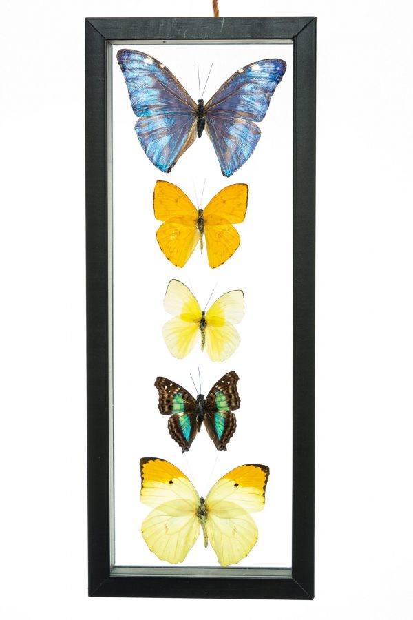 - The Butterfly Connection - 5 Count Real Framed Butterflies (13.5x5.5) 1 Morpho + 4 mixed butterflies