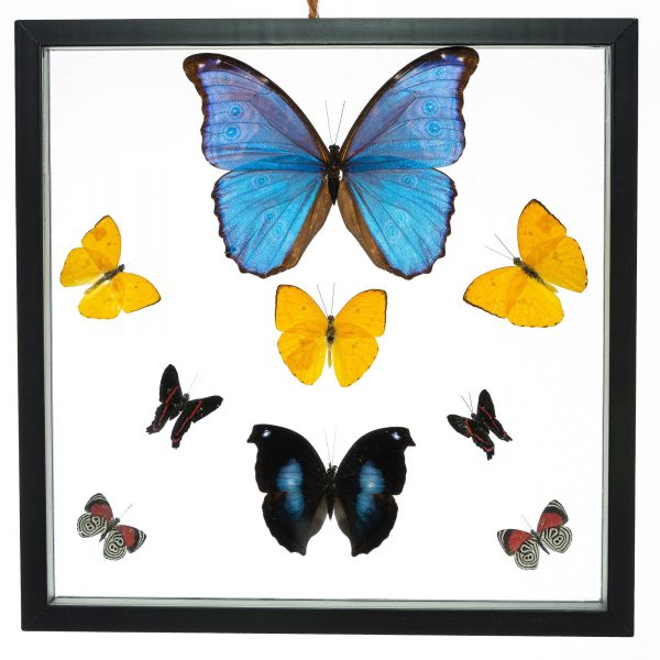 - The Butterfly Connection - 9 Count Real Framed Butterflies (12x12) 1 Morpho + 8 mixed butterflies