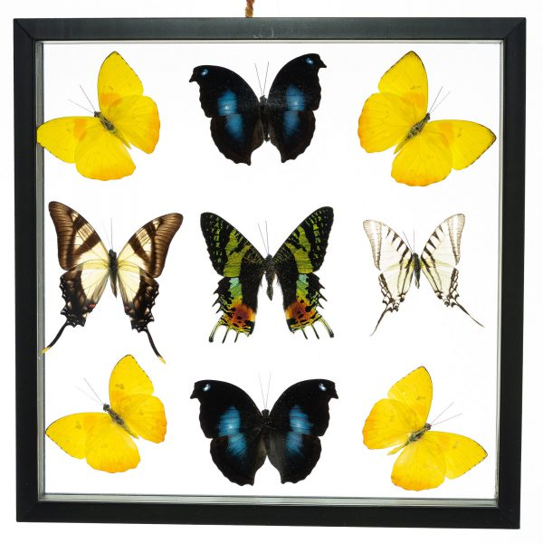 - The Butterfly Connection - 9 Count Real Framed Butterflies (12x12) 1 Ripheus + 8 mixed butterflies