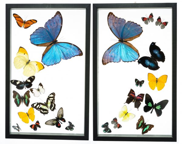 - The Butterfly Connection - 24 Count Real Framed Butterflies (32x20) 2 Morpho + 22 mixed butterflies