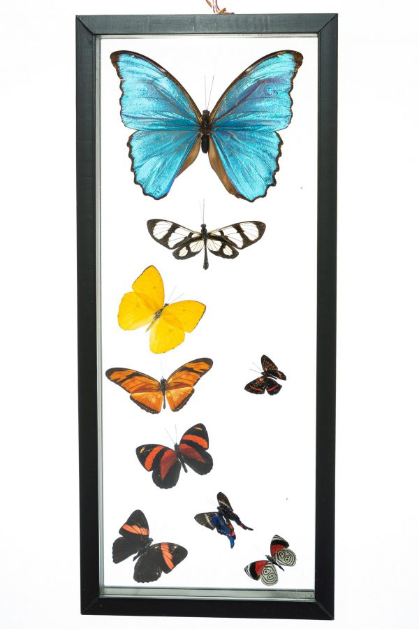 - The Butterfly Connection - 9 Count Real Framed Butterflies (15x6) 1 Morpho + 1 Fine Small + 7 mixed butterfly