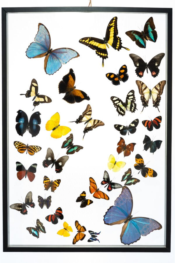 - The Butterfly Connection - 35 Count Real Framed Butterflies (25x17) 2 Morpho + 33 mixed butterflies