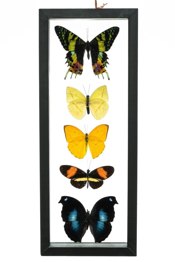 - The Butterfly Connection - 5 Count Real Framed Butterflies (13.5x5.5) 1 Riphuso + 4 mixed butterflies