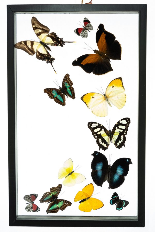 - The Butterfly Connection - 12 Count Real Framed Butterflies (16x10) 12 mixed butterflies
