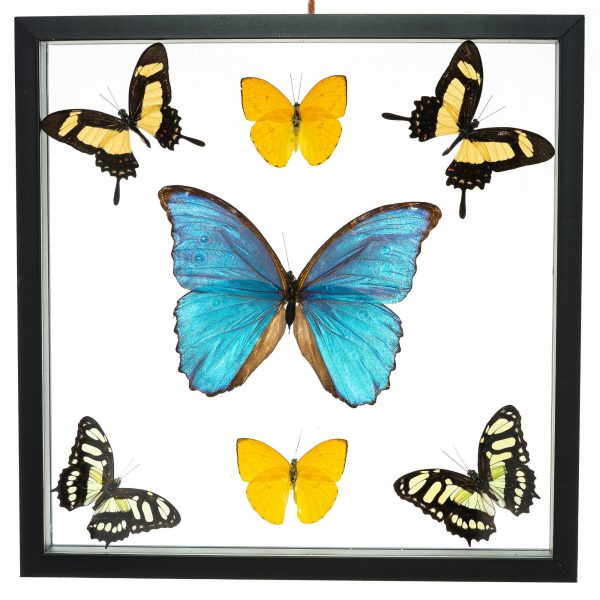 - The Butterfly Connection - 7 Count Real Framed Butterflies (12x8) 1 Morpho + 6 mixed butterflies